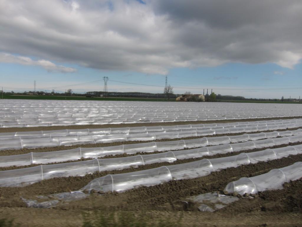 Le coltivazioni del Melone DOP di Sermide (MN)
